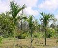 Пальма катеху