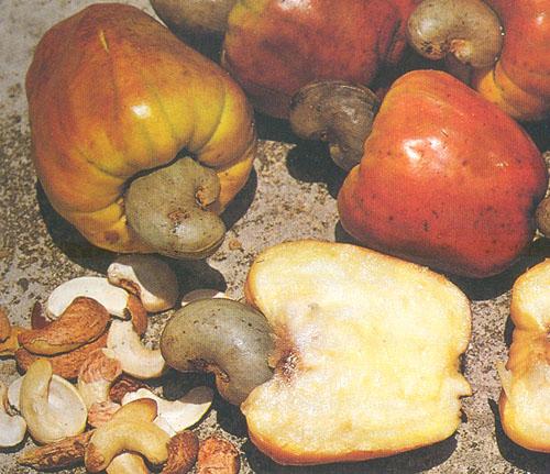 как. растут орехи кешью фото