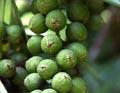 Кокколоба ягодоносная, приморский виноград
