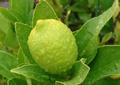 Грубокожистый лимон
