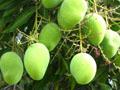 Великолепное манго