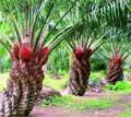 Африканская маслиничная пальма
