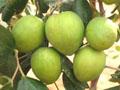 Зизифус мавританский